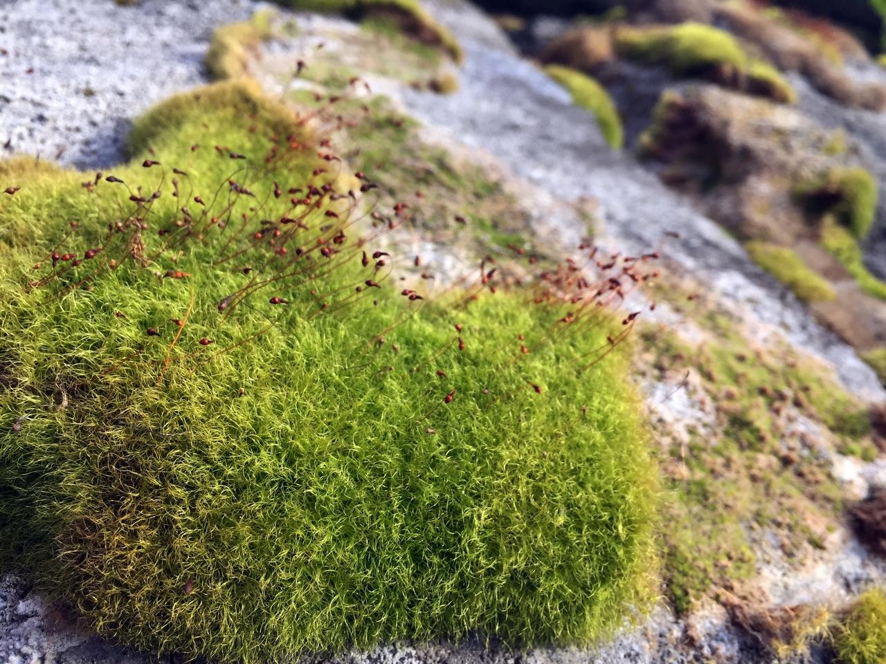 El musgo es una planta primitiva