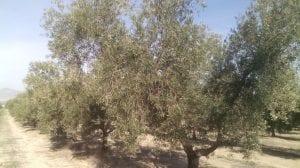 abonado de olivos