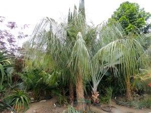 Ejemplar de Parajubaea sunkha
