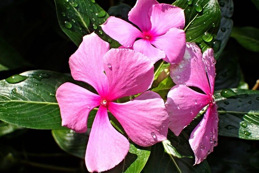 La Teresita es una planta que tiene una estatura algo pequena