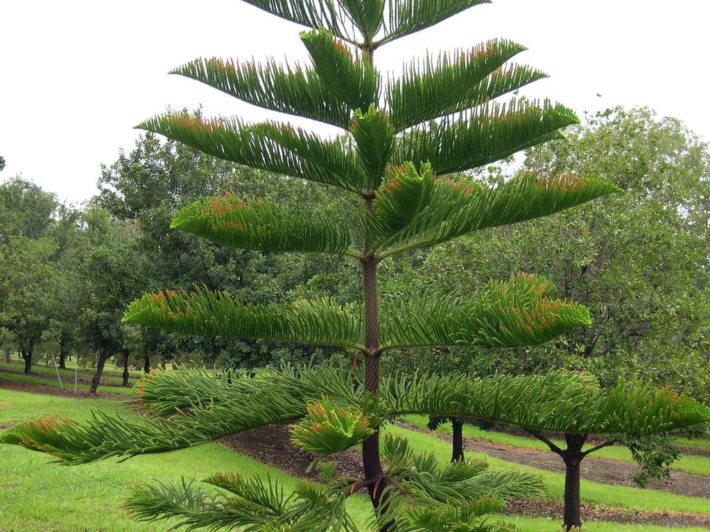 Pino de norfolk una con fera espectacular para jard n for Tipos de pinos para jardin fotos