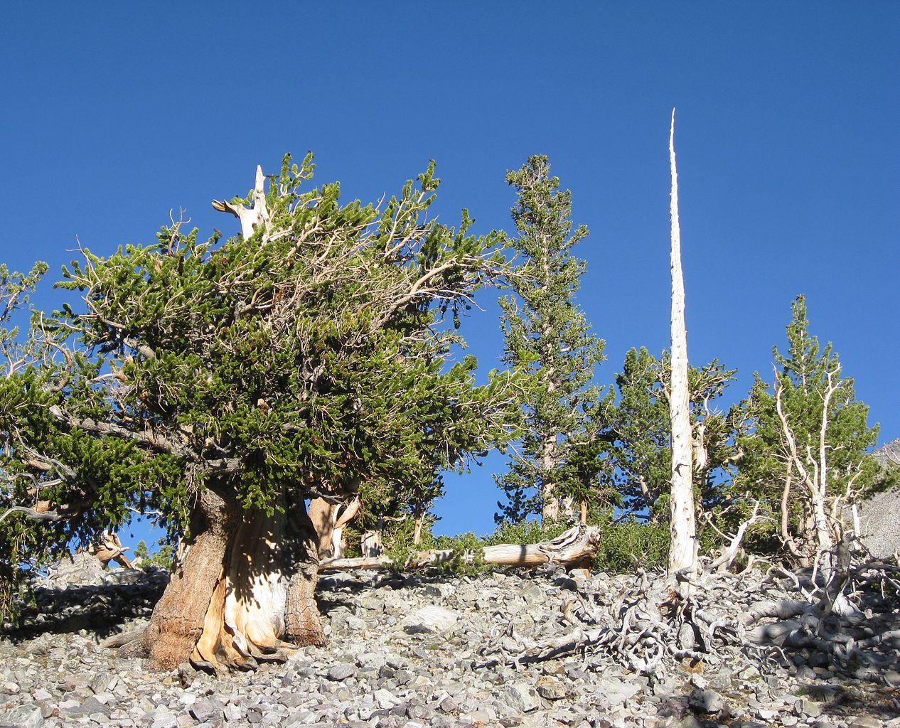 El Pinus longaeva es una conífera de hoja perenne