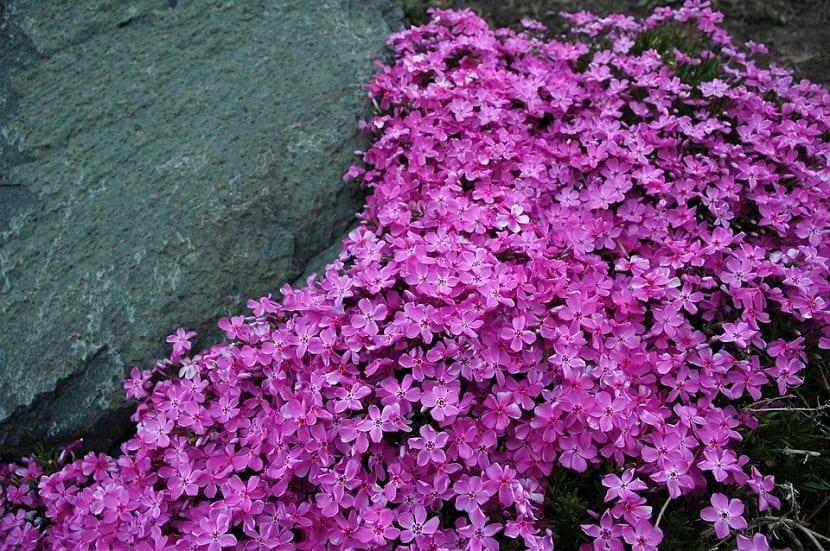 plantas tapizantes o rastreras