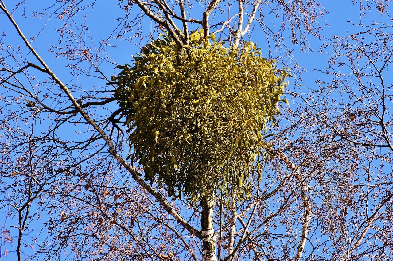 El Viscum album es una planta parásita
