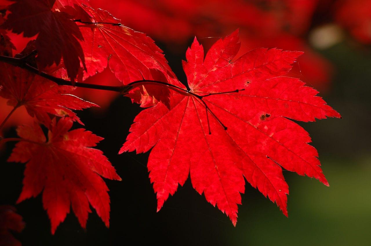 Hojas del Acer japonicum 'Vitifolium'