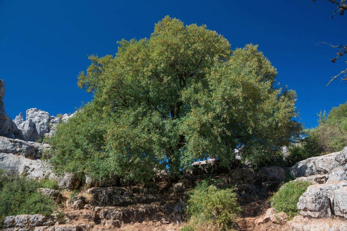 Árbol adulto de Acer monspessulanum