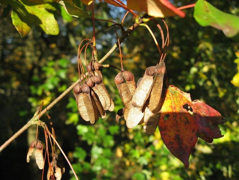Semillas del Acer monspessulanum