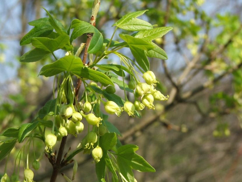 Flores del Acer monspessulanum subsp turcomanicum