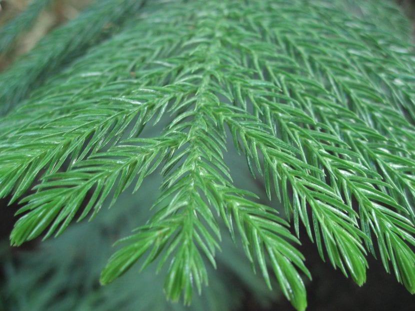 Detalle de las hojas de la Araucaria heterophylla