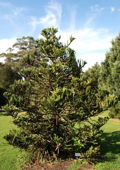 Joven ejemplar de Araucaria montana