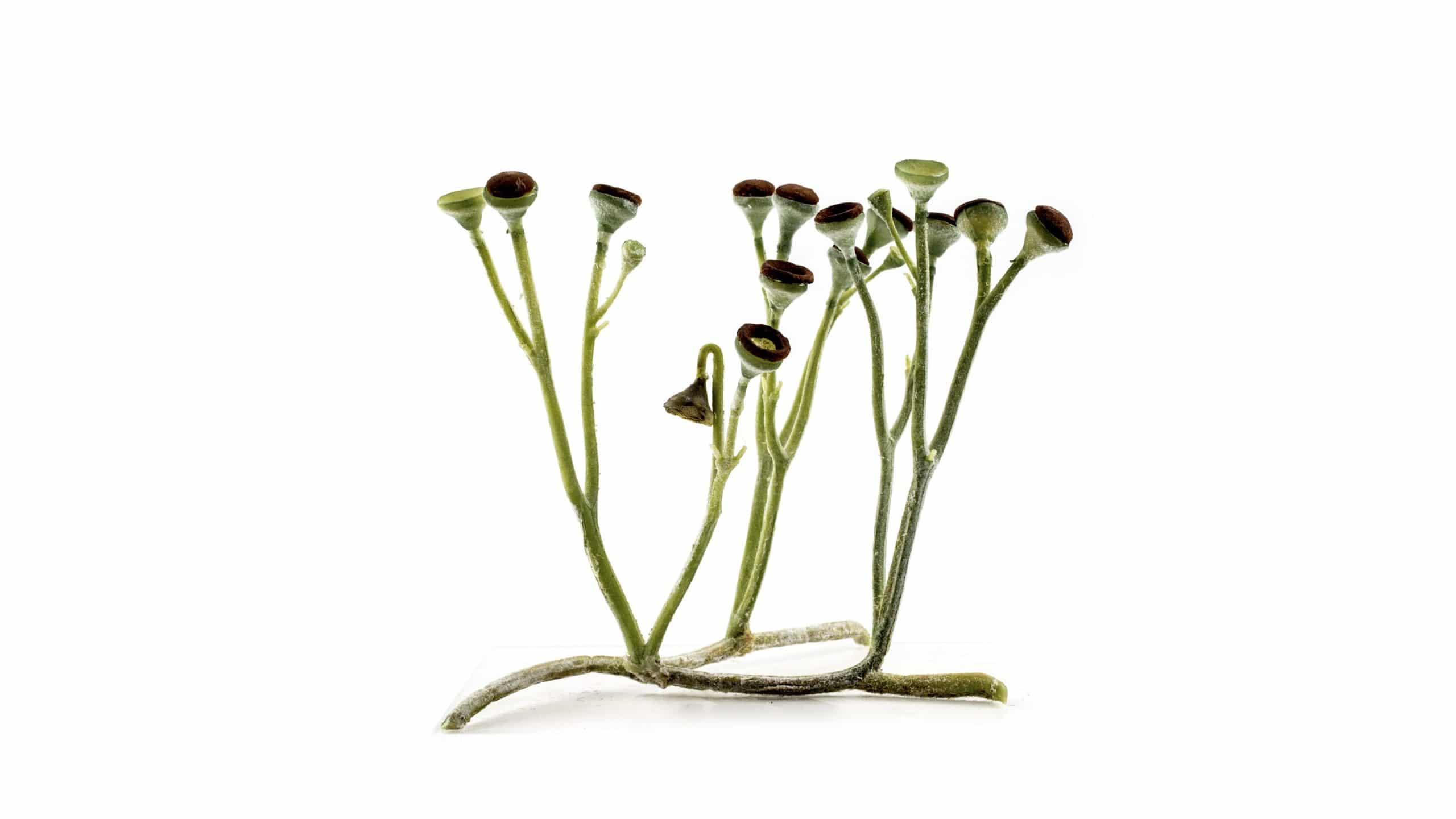 Ilustración de la planta Cooksonia