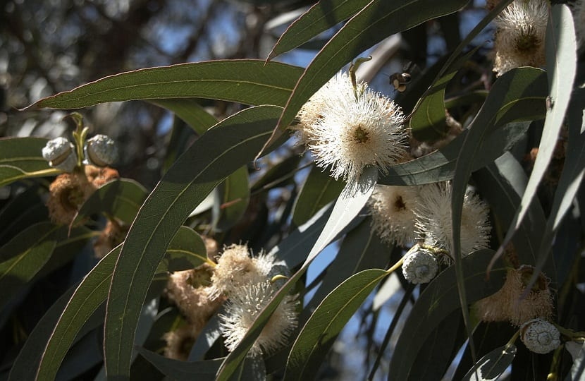 Controversia generada en España por el Eucalyptus Globulus