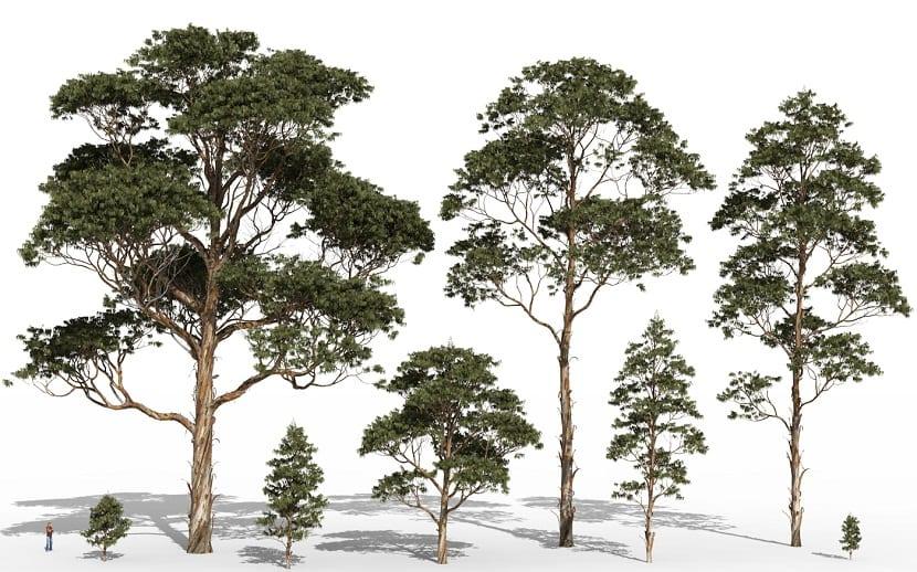 caracteristicas Eucalyptus Globulus