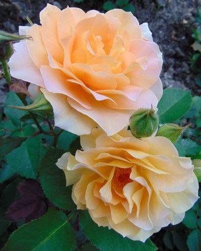 Flor de la Rosa 'Honey Perfume'