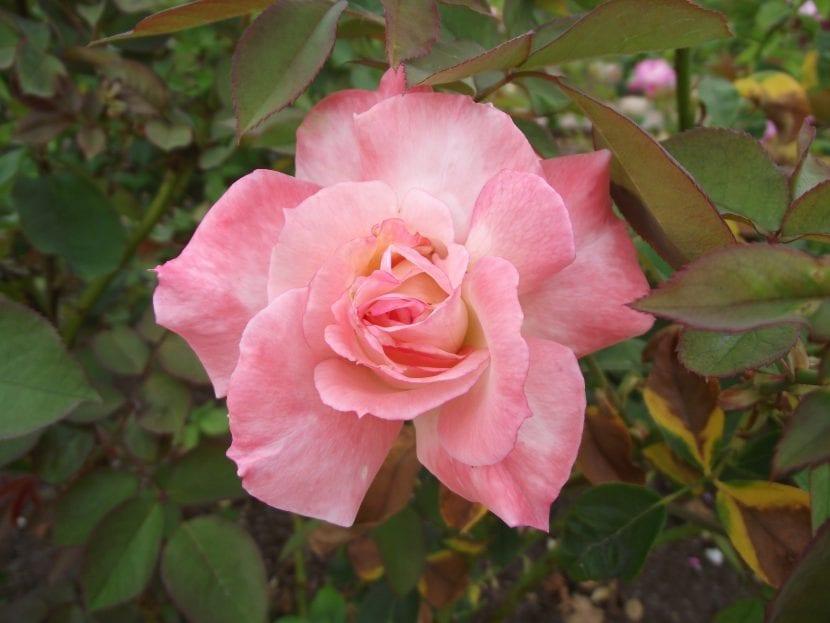 Flor de la rosa 'Secret'