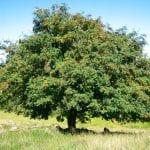 Ejemplar adulto del Sorbus aucuparia