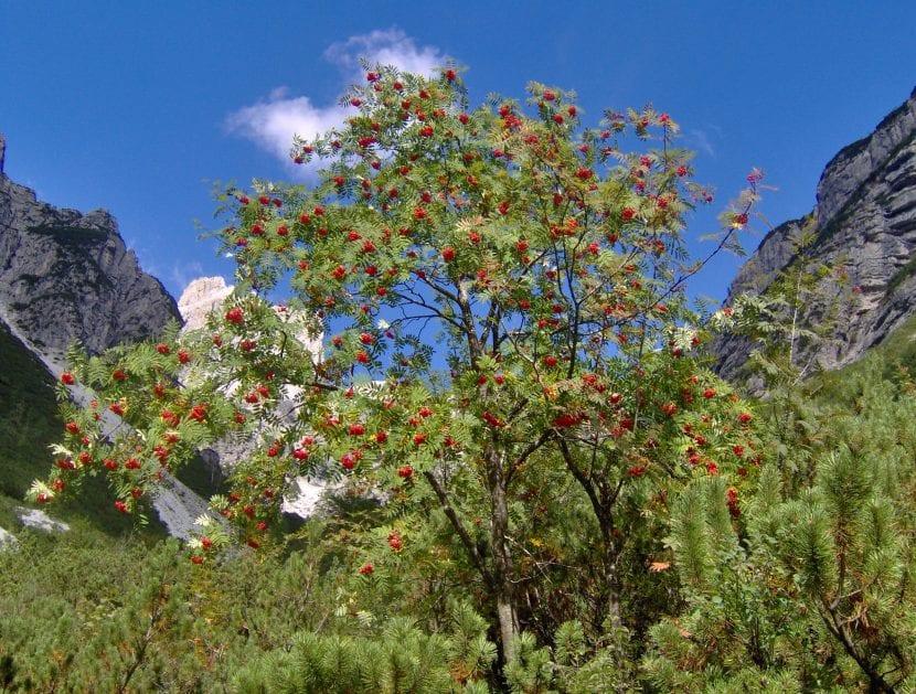 Sorbus aucuparia en hábitat