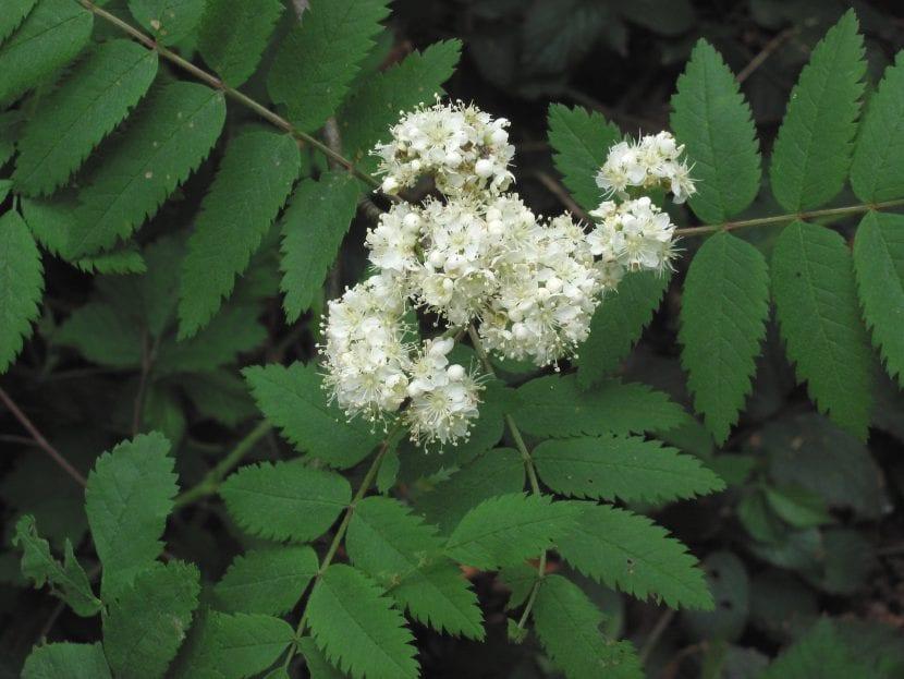 Flores del Sorbus aucuparia