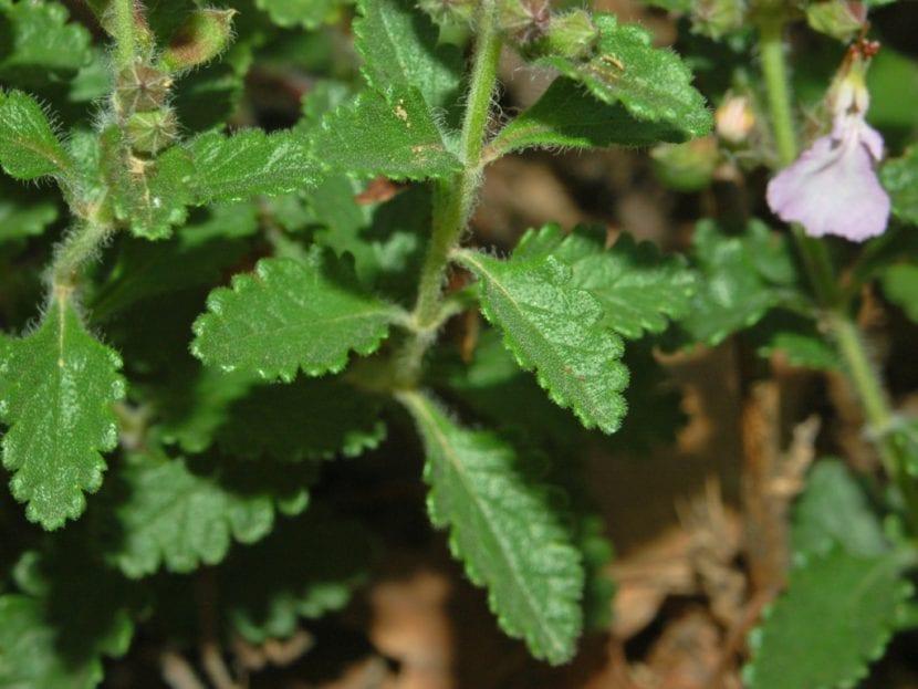 Detalle de las hojas del camedrio o Teucrium chamaedrys