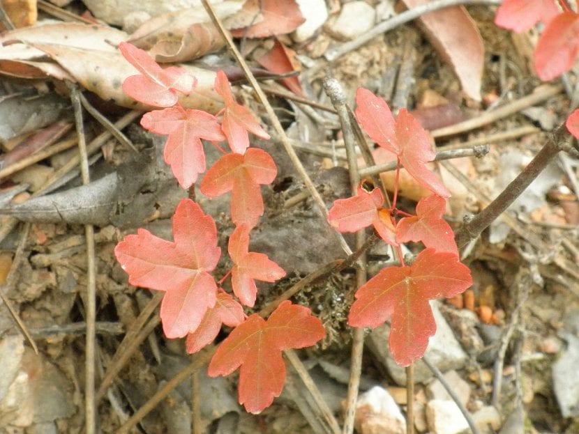 Hojas del Acer monspessulanum en otoño