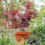 Un Acer palmatum en maceta