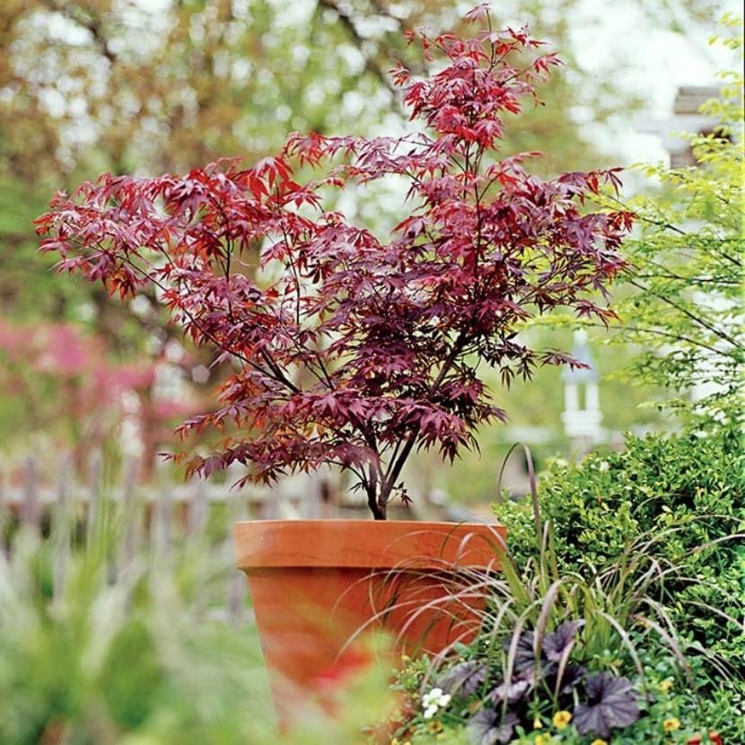 Acer palmatum en maceta