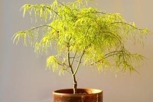 Ejemplar de Acer palmatum 'Koto no Ito'