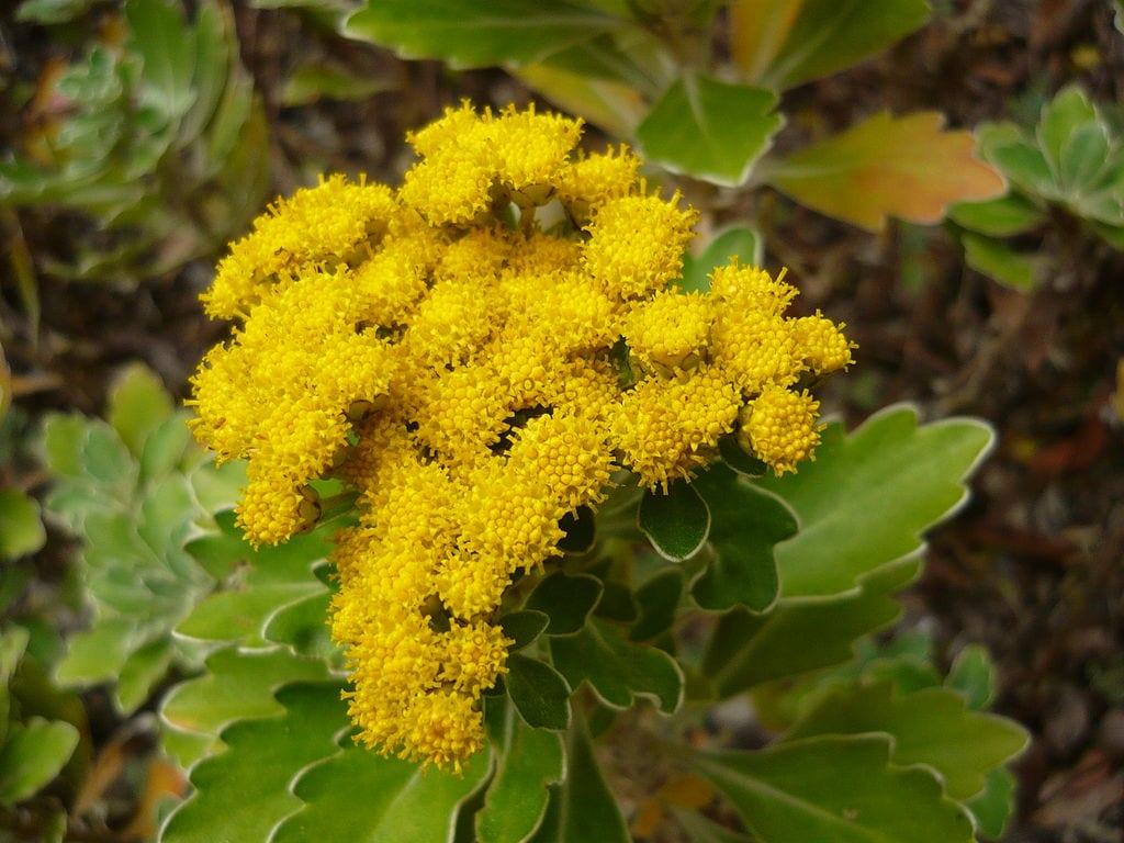 Ajania pacifica en flor