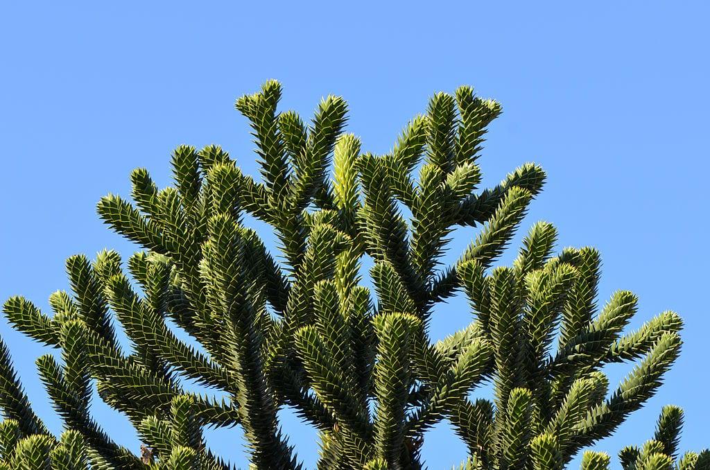 Detalle de las hojas de la Araucaria auracana