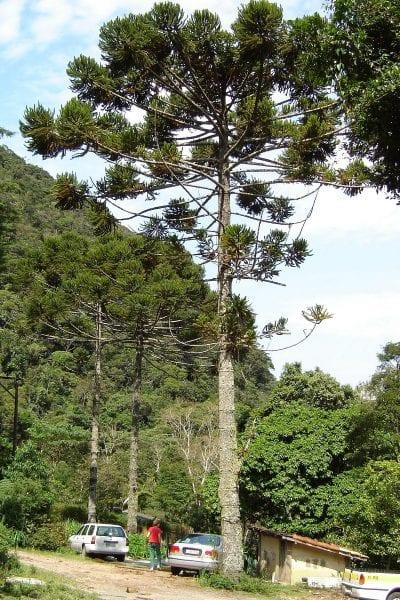 Ejemplar adulto de Araucaria angustifolia