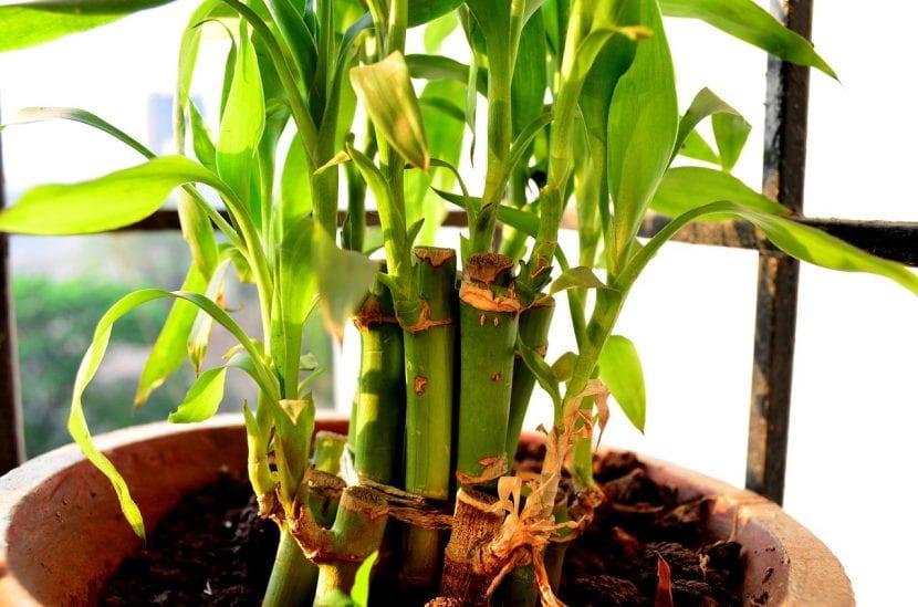 Bambú de la suerte en maceta