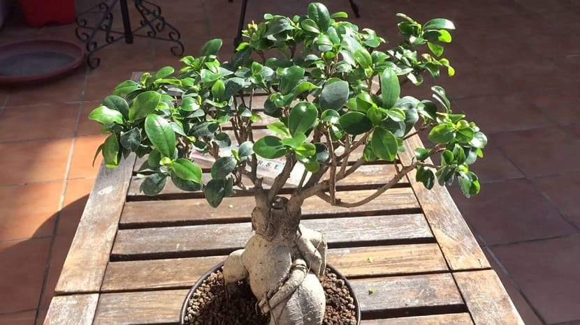 Bonsais jardineria on - Cultivo del bonsai ...