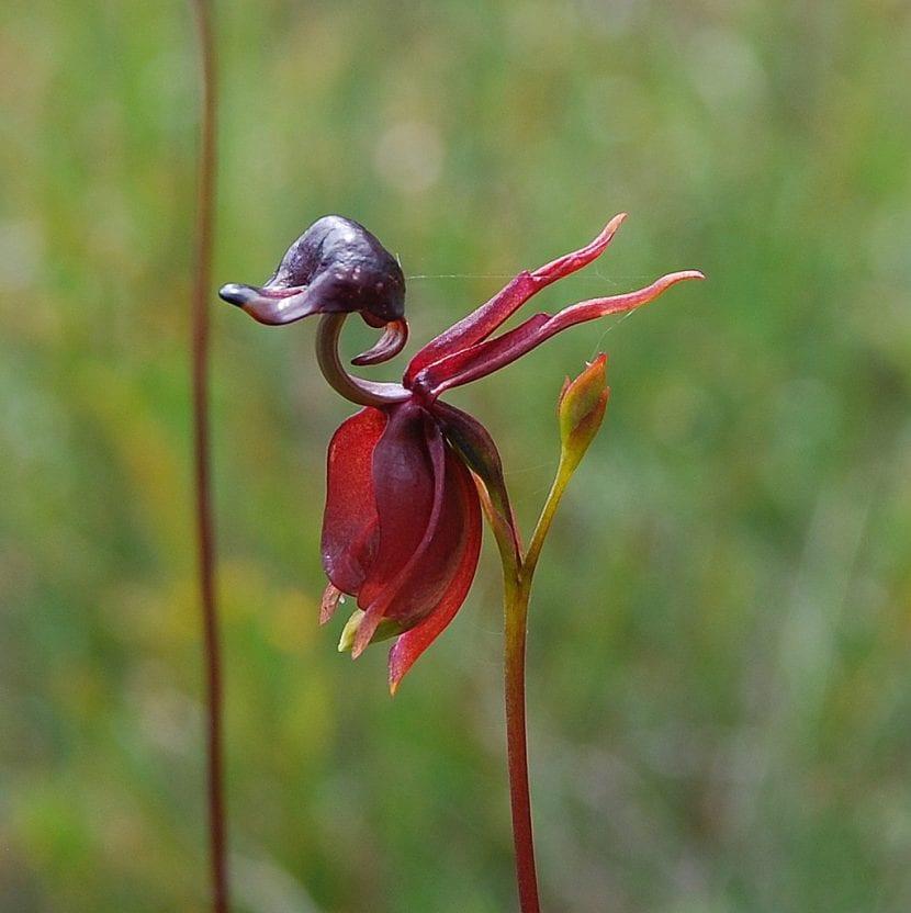 Curiosa flor de la Caleana major
