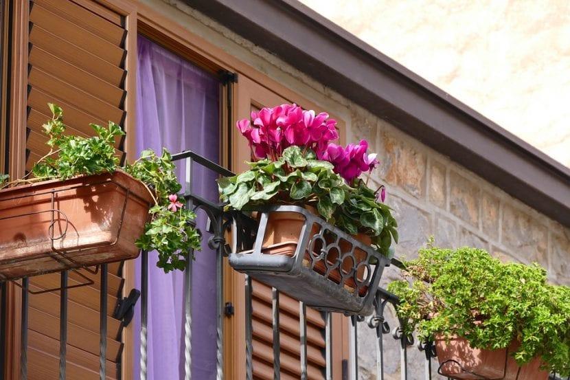 Ciclamen, una flor para balcón