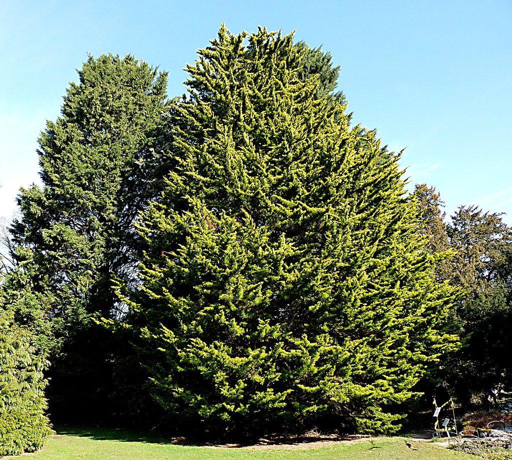 Vista del Cupressus macrocarpa