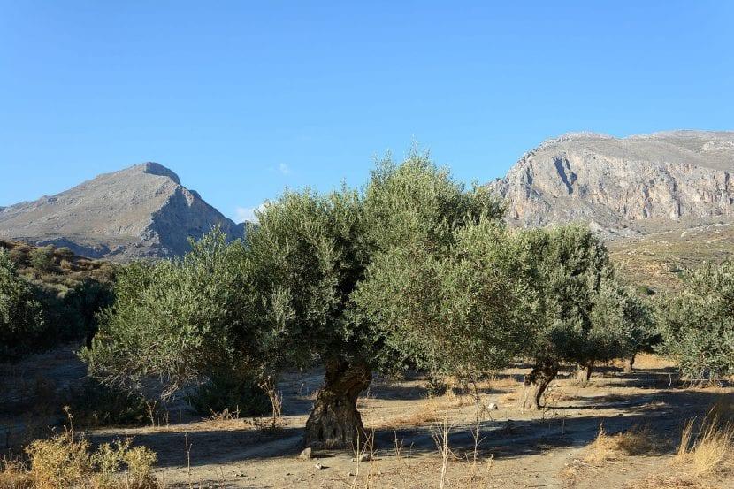 Ejemplar viejo de olivo