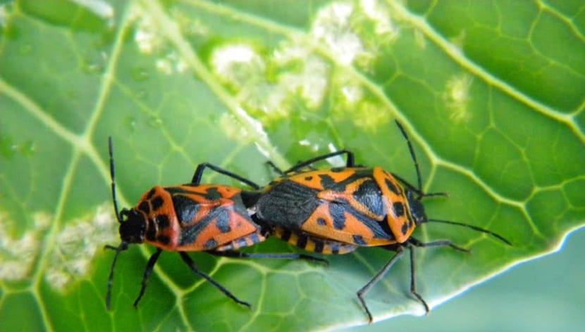 las plagas de escarabajos pueden afectar tu jardín