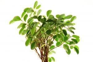 Joven Ficus