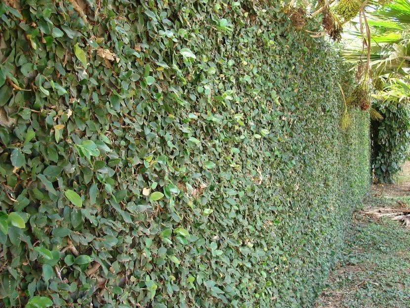 Ficus pumila cubriendo una pared