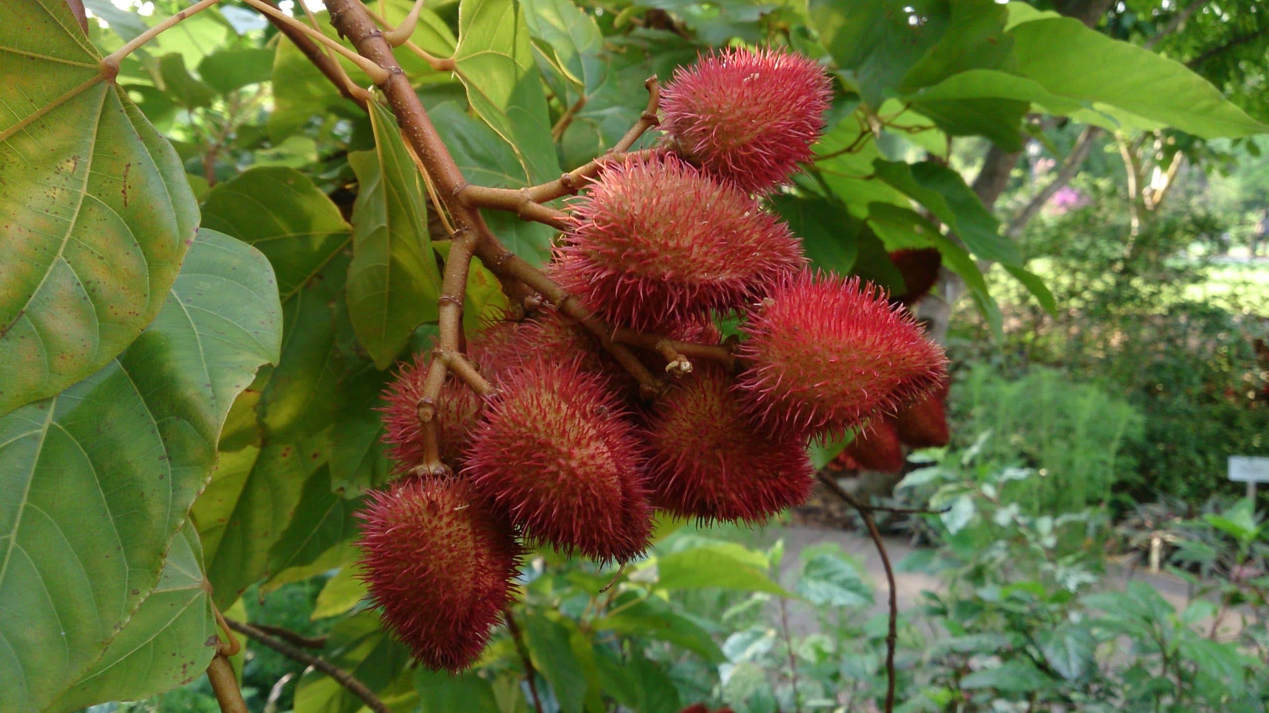 Frutos maduros del achiote