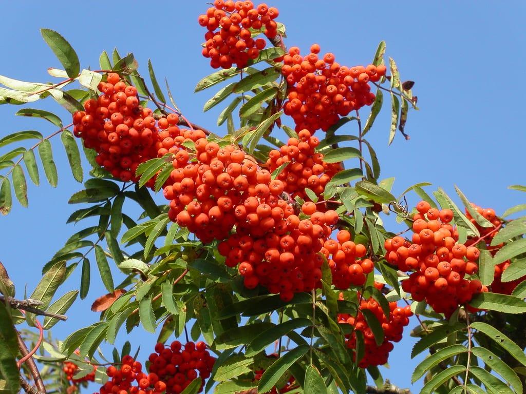 Frutos del Sorbus aucuparia