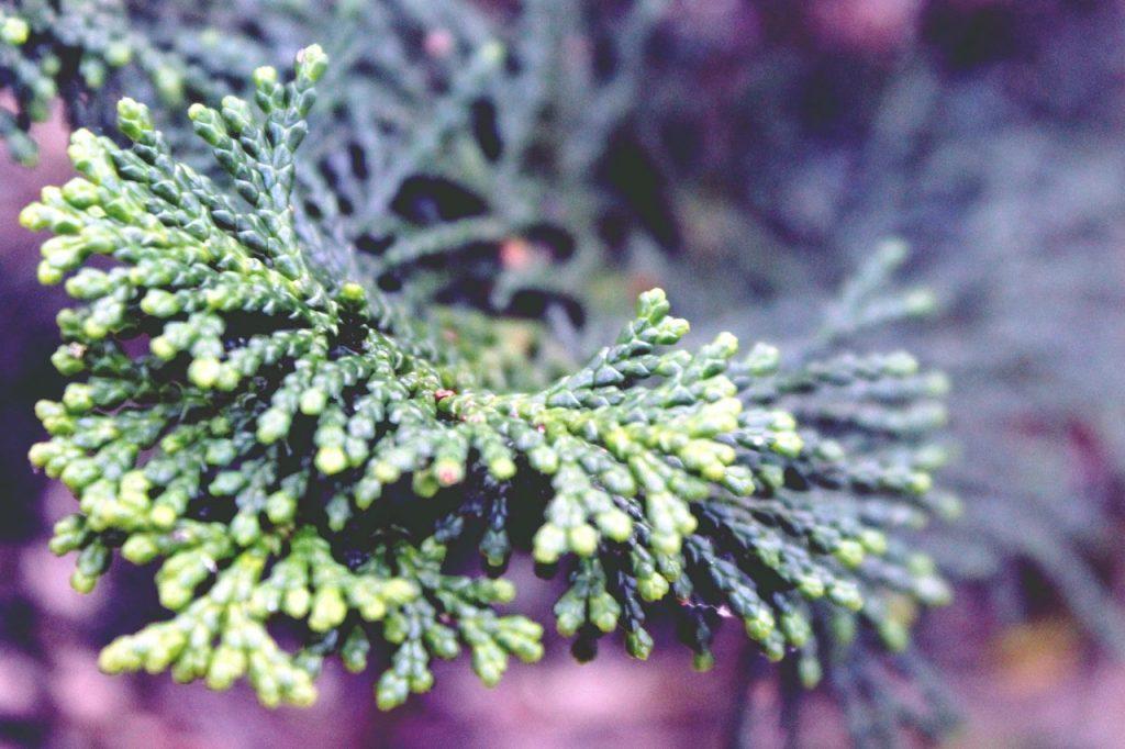 Las hojas del cipres son perennes