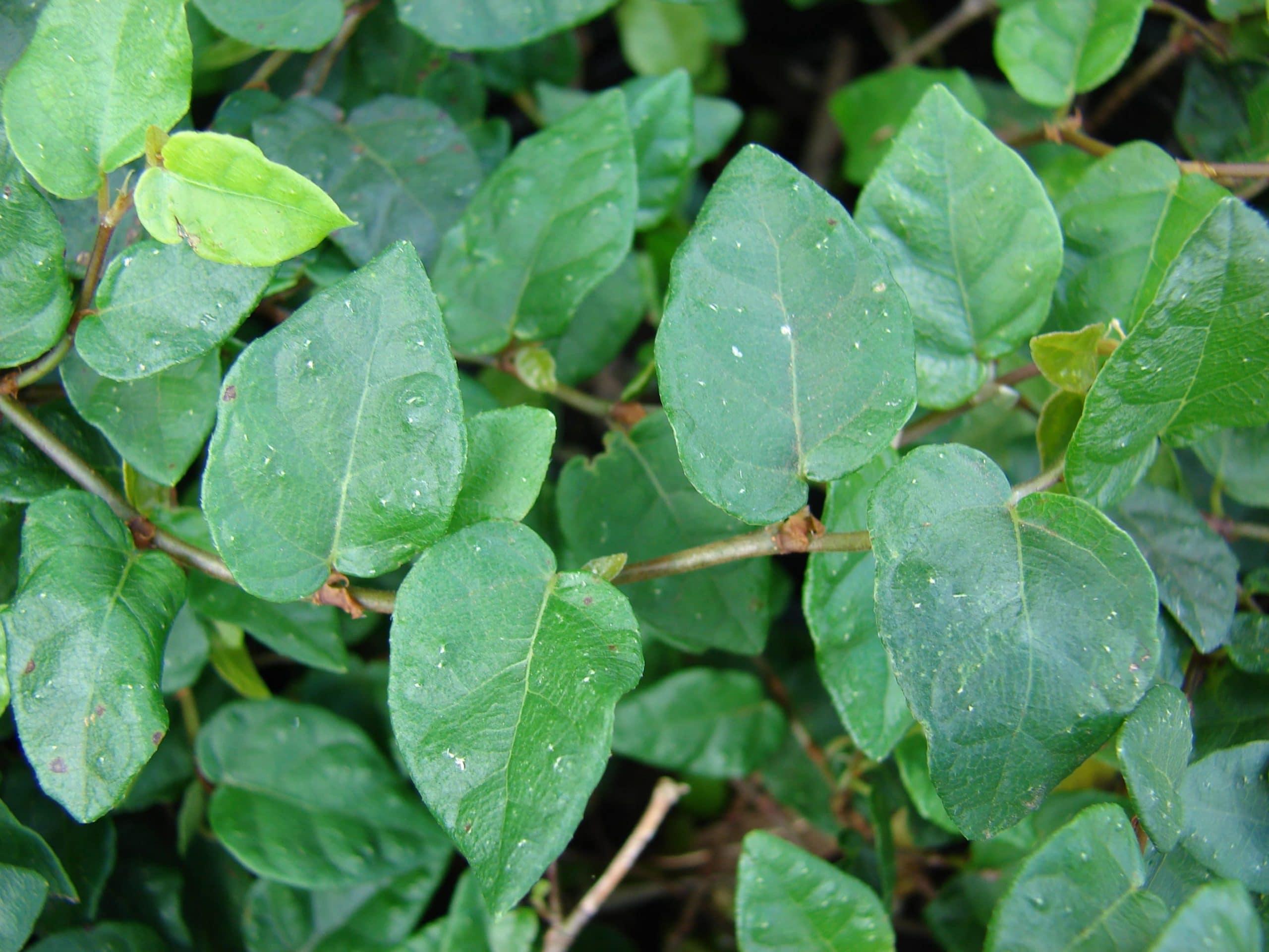 Hojas del Ficus pumila