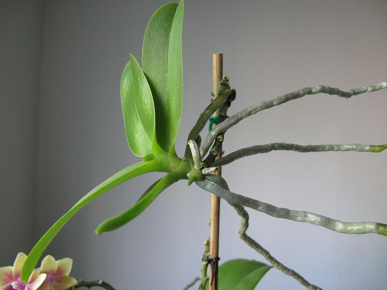 Keiki de orquídea Phalaneopsis