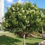 Árbol de Ligustrum lucidum, una preciosa planta para tu jardín de suelo salino
