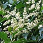 Árbol de Ligustrum lucidum en flor
