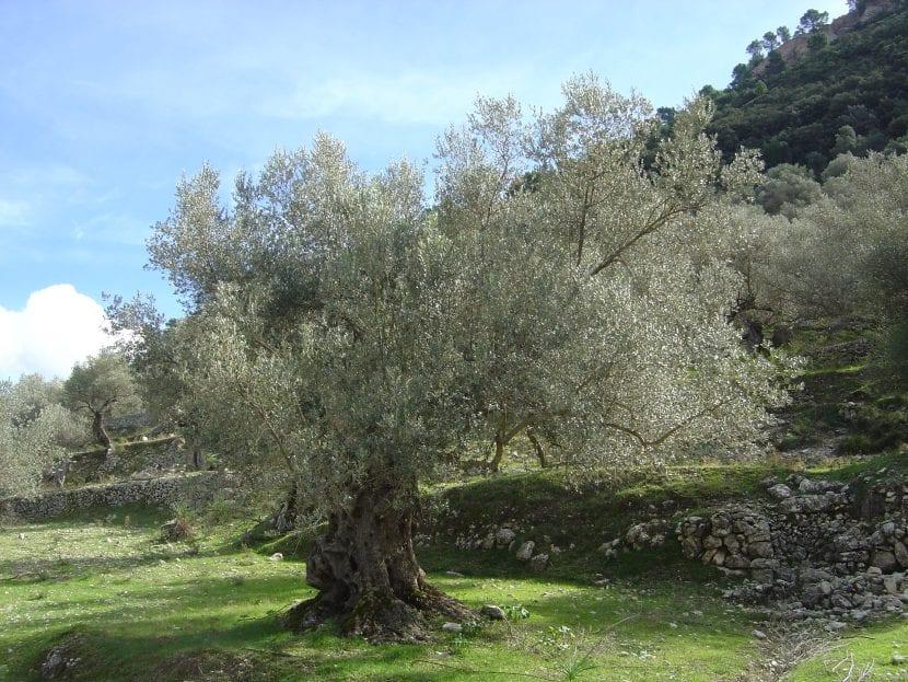Olivo centenario en Mallorca
