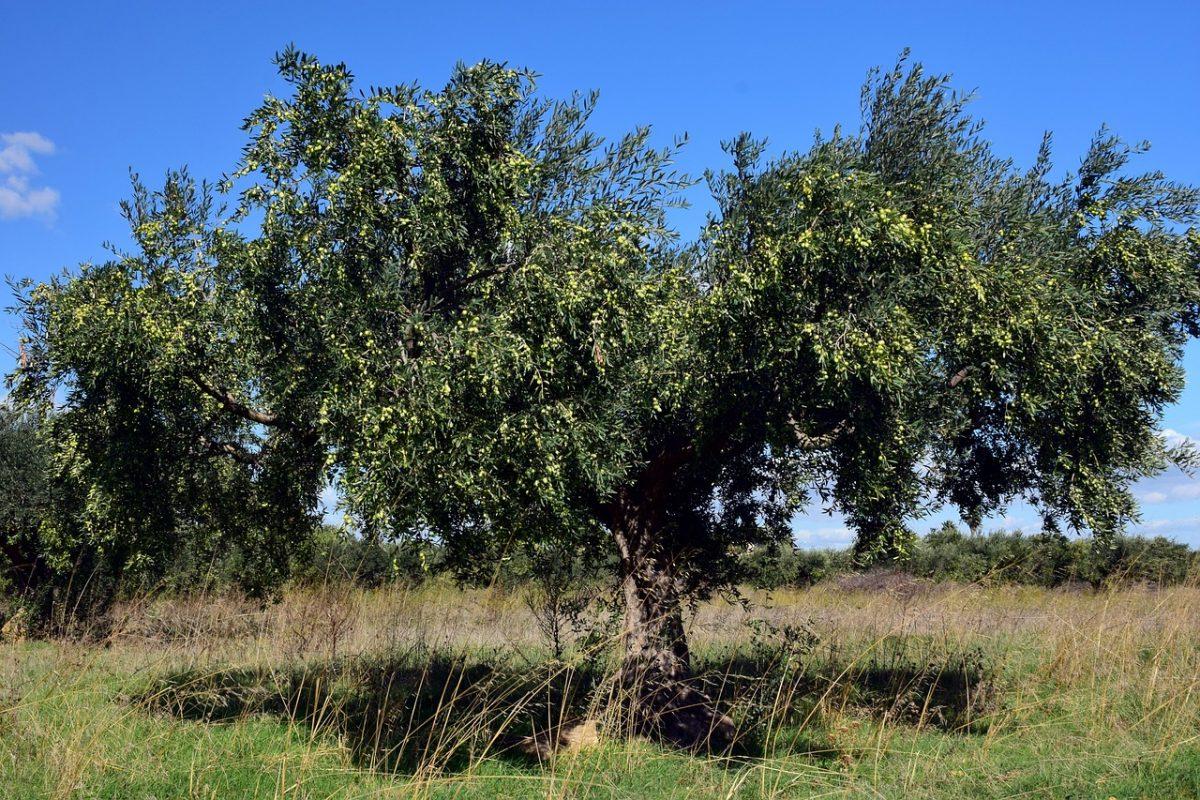 Los olivos viven milenios