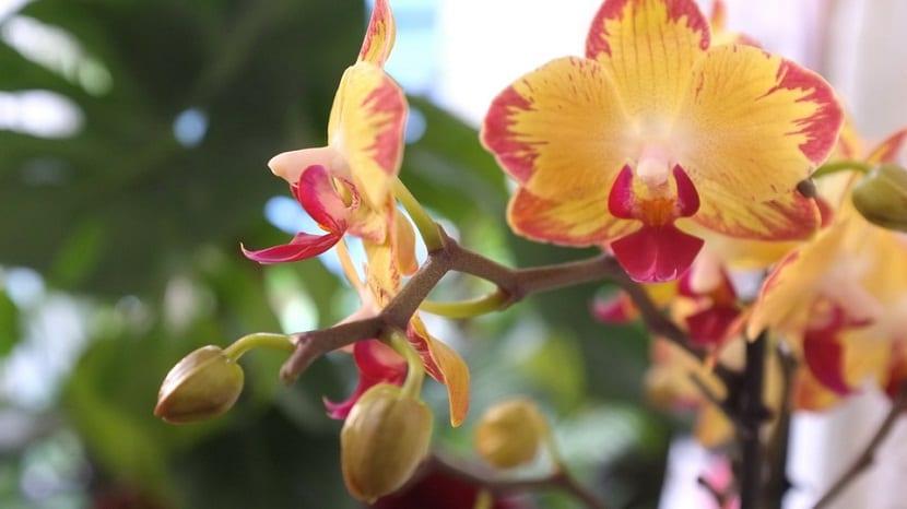 orquidea para un período de floracion prolongado