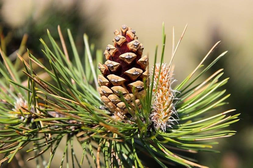 Las hojas de los pinos tienen muchos usos